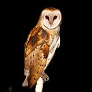 Barn Owl by flyfish70