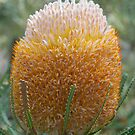 Acorn Banksia, Kings Park, Western Australia by Adrian Paul