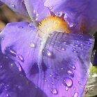 Bearded Iris  by annAHorton