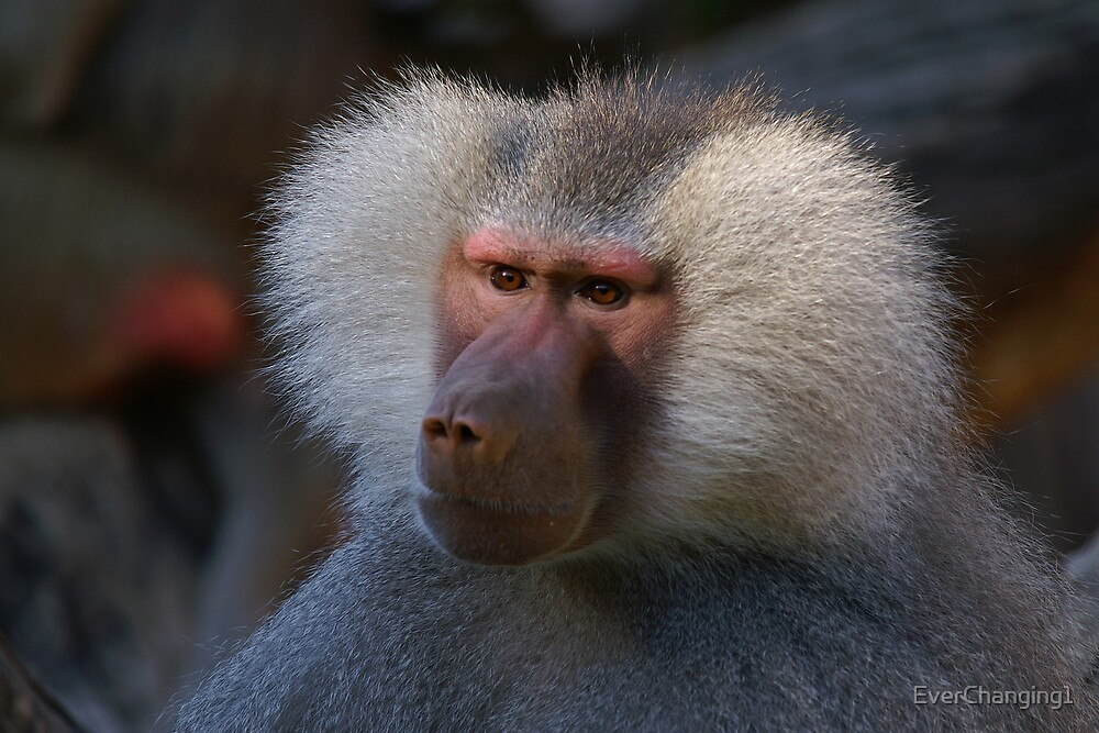 Baboon ~ 1 by EverChanging1