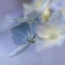 Flowers. Summertime Blues. Lavender, Lilac and Cream.  by Barbara  Jones ~ PhotosEcosse