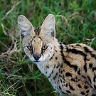 Serval by Yves Roumazeilles