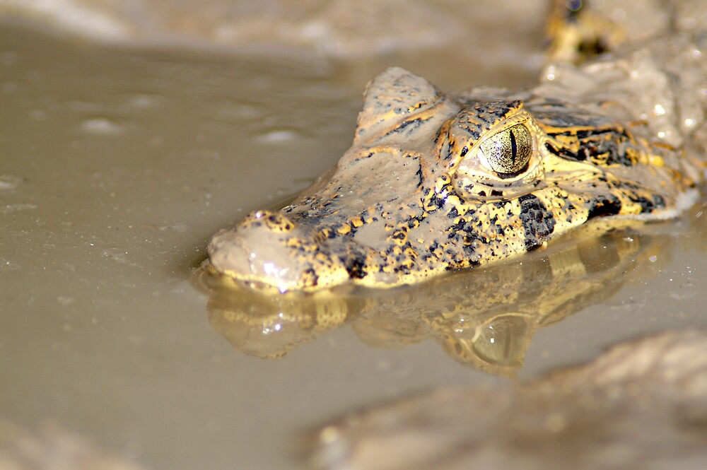 Golden caiman by Yves Roumazeilles