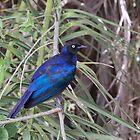 Burchell's Starling (Lamprotornis australis) by Yair Karelic