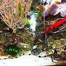 Red Fire Shrimp by John Dalkin