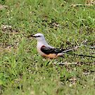 Oklahoma Scissor-tailed Fly Catcher Bird by Scott Hawkins