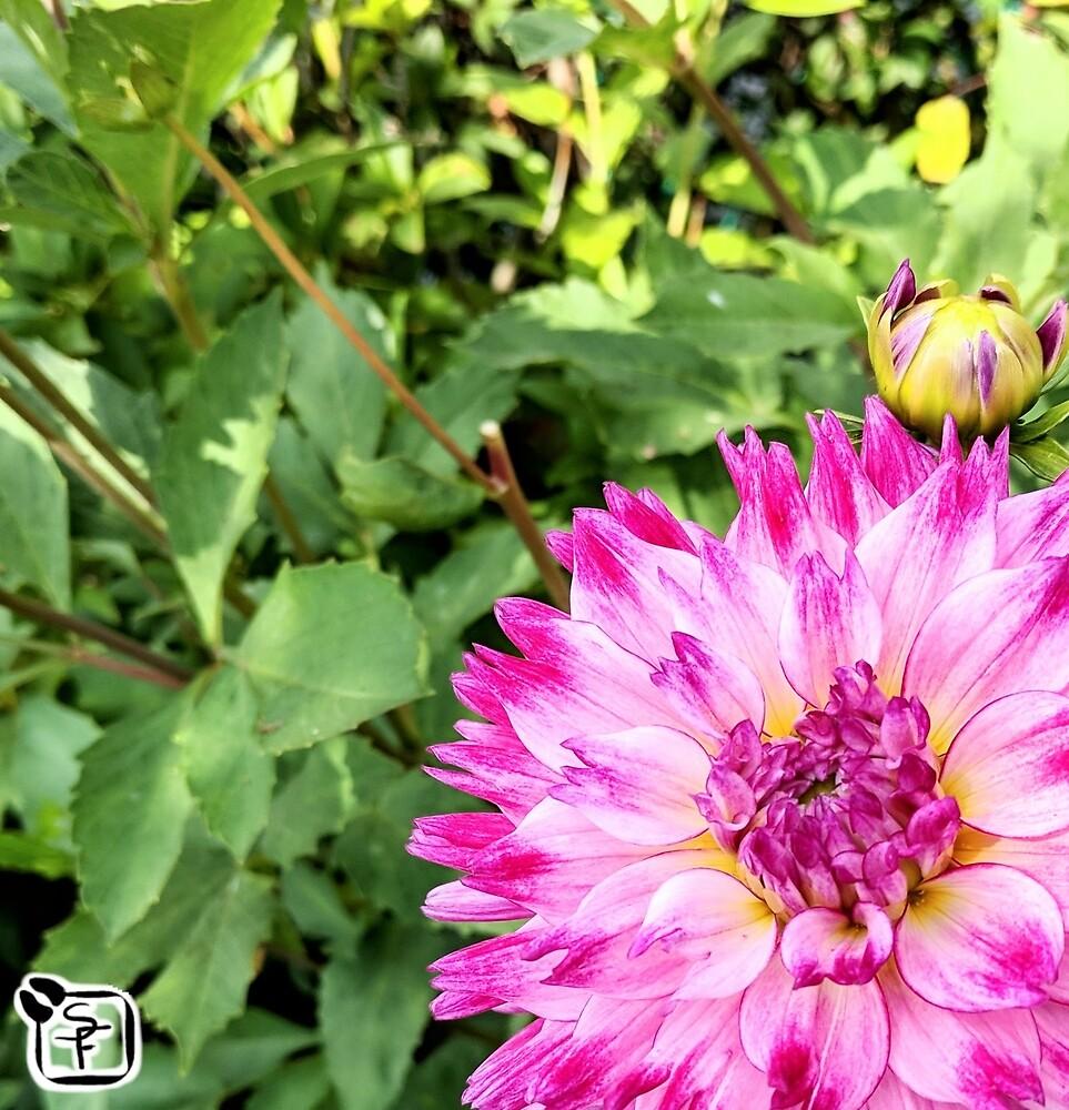 Pink Dahlia by SonneFaunArt