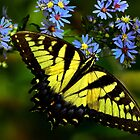 Giant Yellow Swallowtail  von John Absher