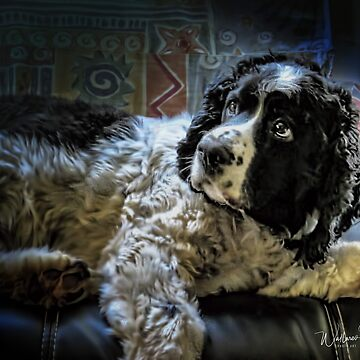 Hunter The Sprocker by wallarooimages