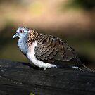 Bar-Shouldered Dove by Ralph de Zilva