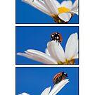 Ladybugs by Melinda Gaal