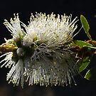 White Callistemon by Eve Parry