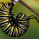 Caterpillar to Chrysalis (click to see him become a chrysalis) by main1