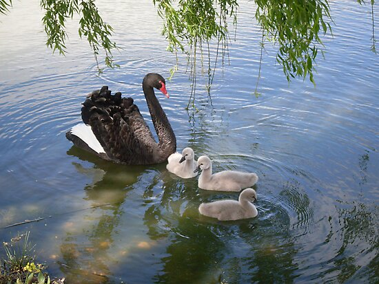 Black Swan and Brood by Gregory John O'Flaherty