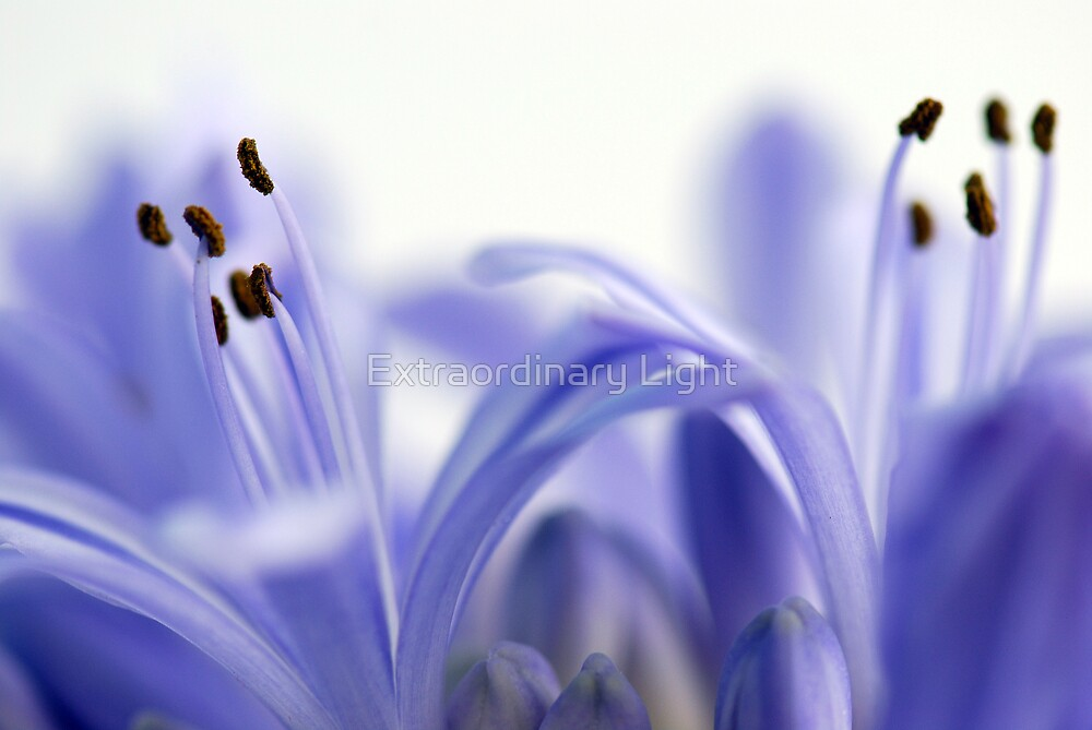 Agapanthus Ballet by Extraordinary Light