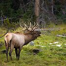 Yellowstone Elk by Roy Nelson
