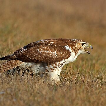 Red-tailed Hawk - juvenile by darby8