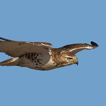 Glider - Red-tailed hawk by darby8