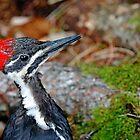 Juvenile Female Pileated Woodpecker by Debbie Oppermann