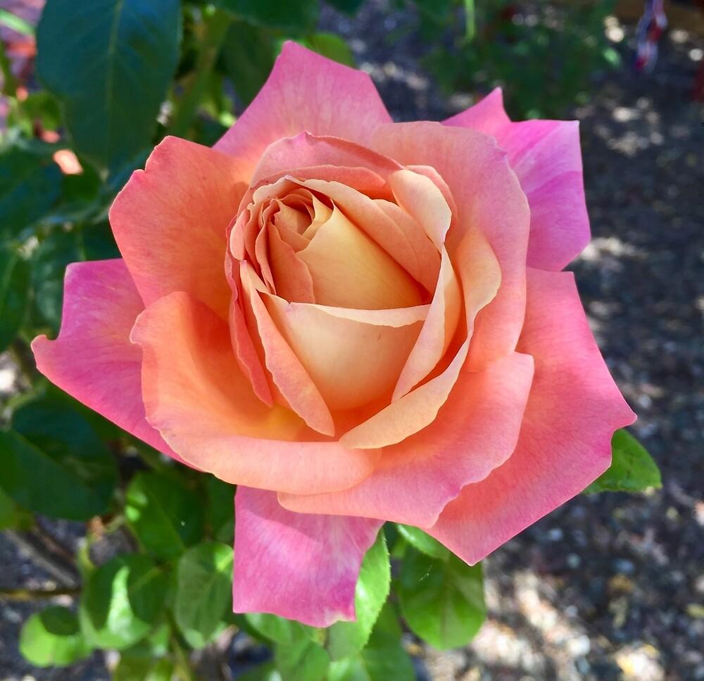 Sherbet Rose by EricaRobbin