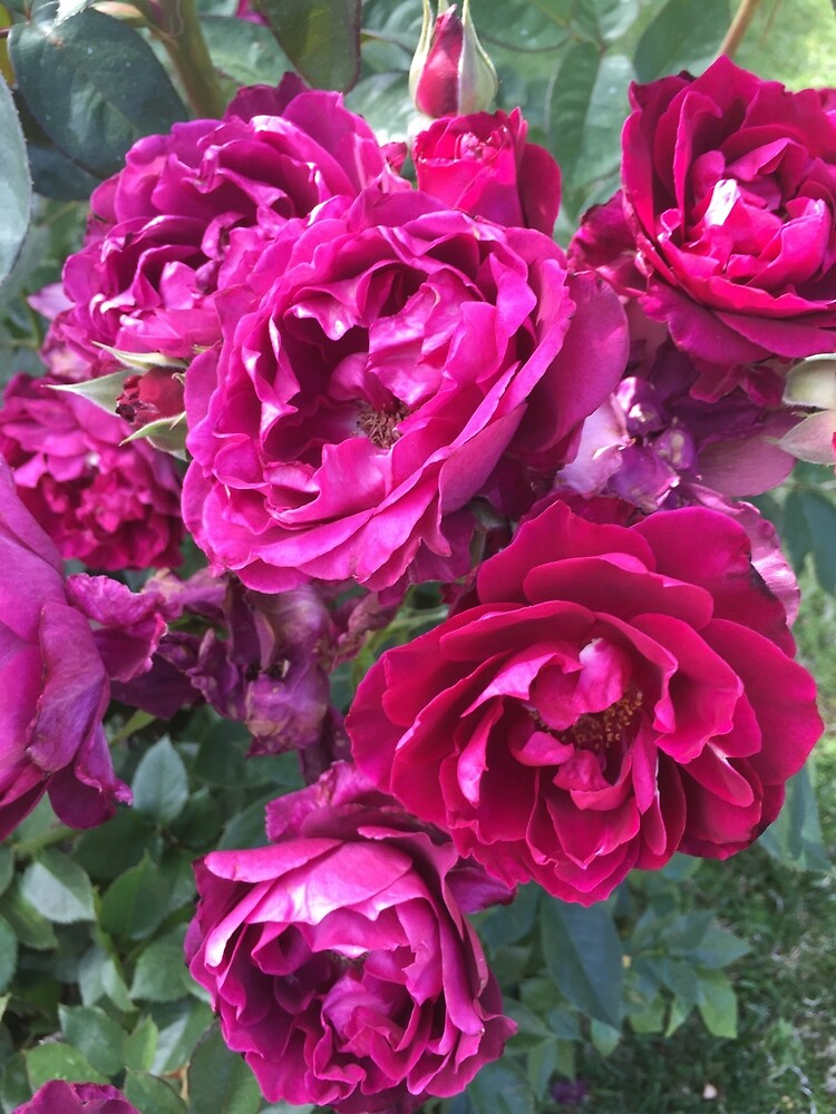 Garden Roses by EricaRobbin