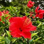 Red Hibiscus, Maui, HI, USA by EricaRobbin