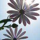 Sun Daisies by Jon Staniland