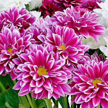 Chrysanthemums by Retiree