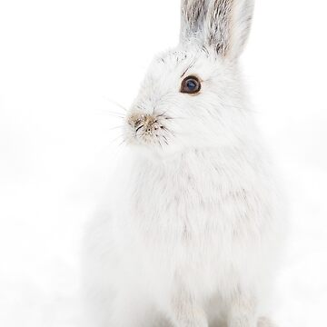 Snowshoe Hare by darby8