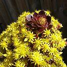 Black Aeonium - flower head by oiseau