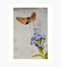 Macroglossum Stellatarum Art Print
