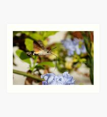 Macroglossum Stellatarum in Flight Art Print