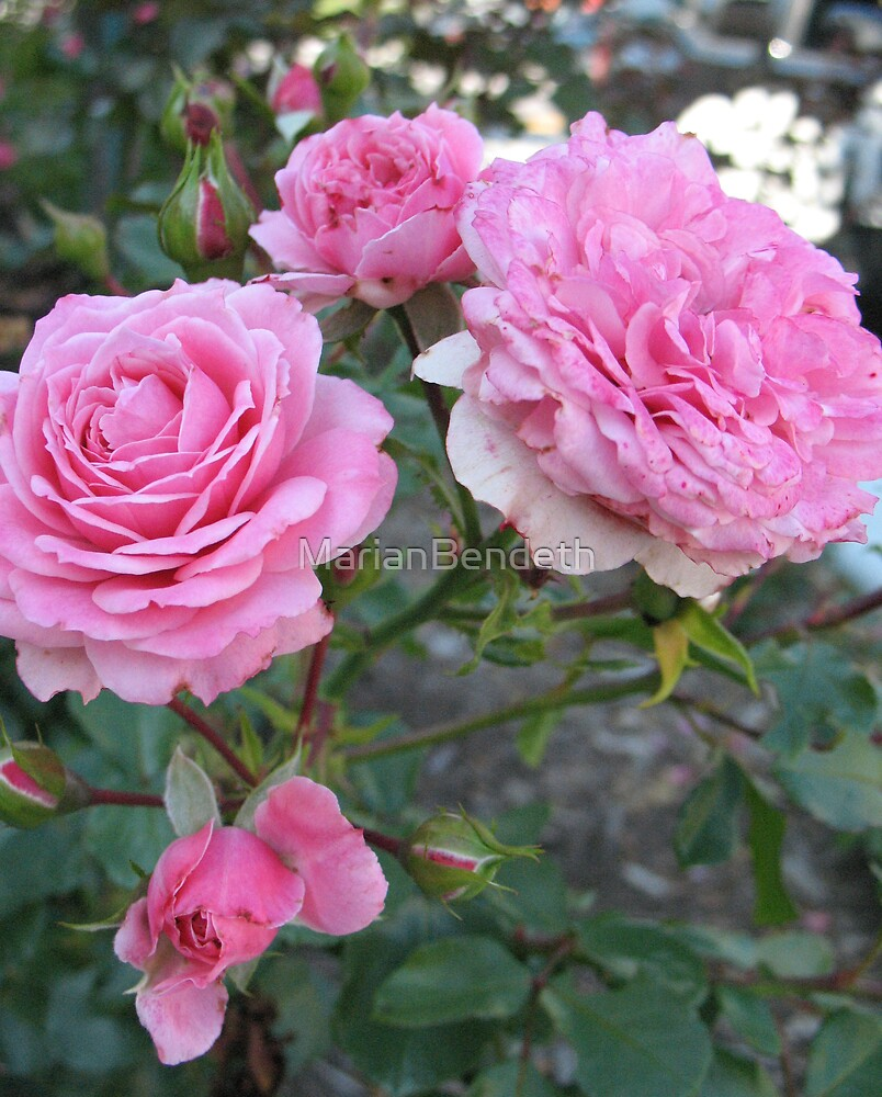 Pink Cabbage Patch Roses by MarianBendeth