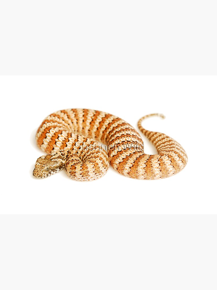 Common Death Adder (Acanthophis antarcticus) by ShannonPlummer