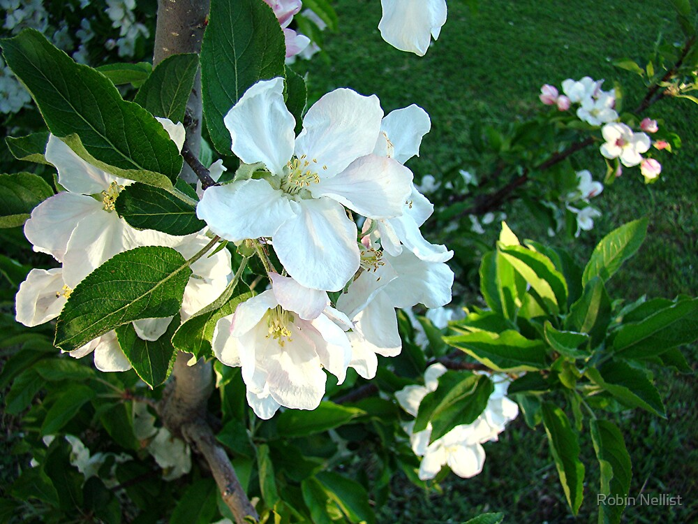 Apple Blossoms by Robin Nellist
