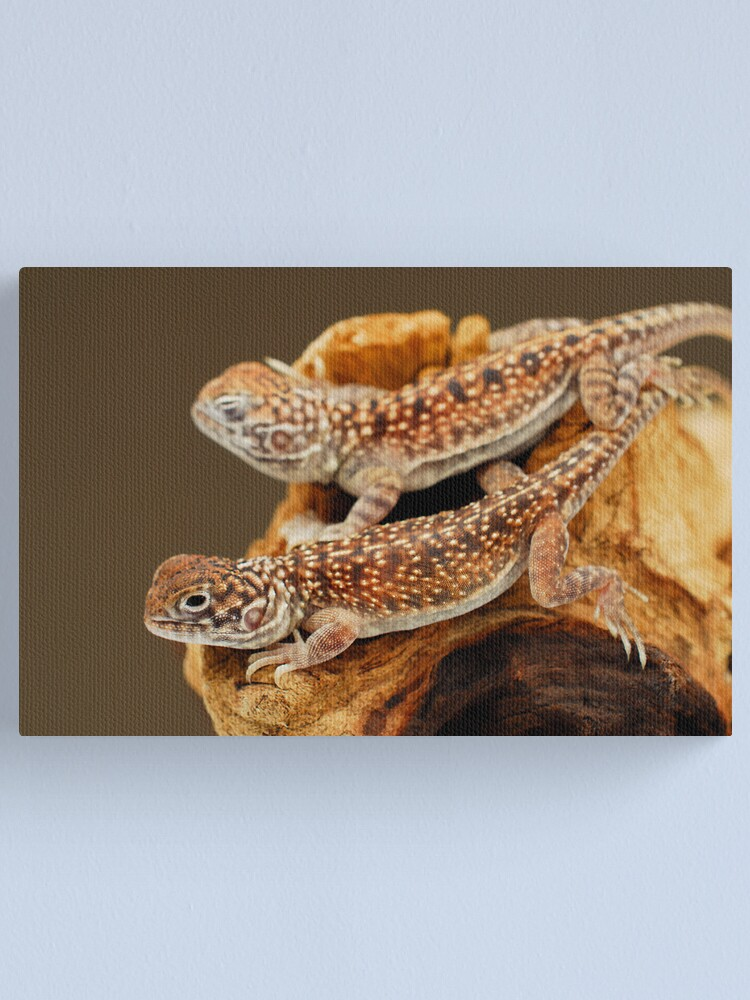 Alternate view of Central Netted Dragons (Ctenophorus nuchalis) Canvas Print