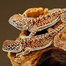 Central Netted Dragons (Ctenophorus nuchalis) by Shannon Wild