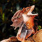 Frilled Lizard (Chlamydosaurus kingii) by Shannon Wild