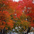 Berkeley Fall Colors 2008 by Josef Grosch