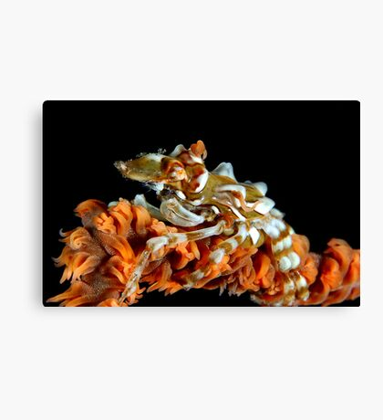 Creeping Crab Canvas Print