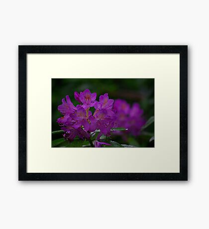 Rhododendron #2 Framed Print