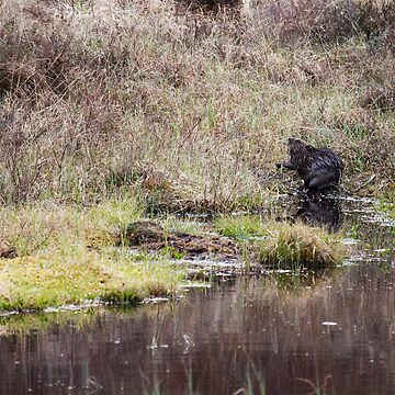 European Beaver by kernuak