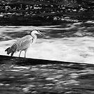 Grey Heron Black and White by kernuak
