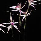 Spidery Native orchid by Lynne Kells (earthangel)