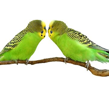 Budgerigar pair kiss by quentinjlang