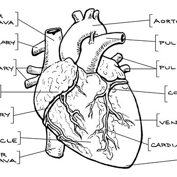 Anatomical Heart Diagram (Black Text) by dianeleonardart