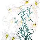 white lily branch watercolor  by ColorandColor