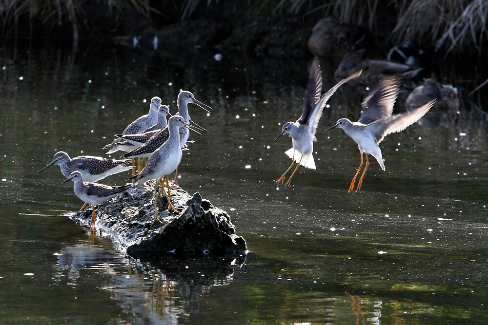 """May We Join You?"" Greater and Lesser Yellowlegs by Wolf Read"
