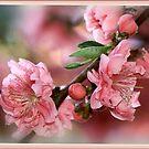 Pink Spring - ornamental cherry blossom by picketty