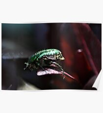 The rare rose chafer Poster